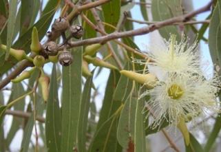 Eucalyptus latijnse naam eucalyptus for Terrace meaning in urdu